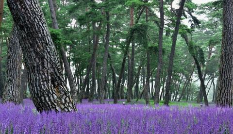 하재경-보라빛 솔밭