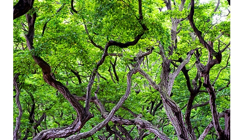 홍갑표-소사나무 숲